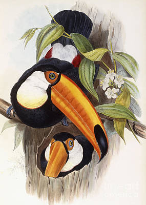 Leaf Drawing - Toucan by John Gould