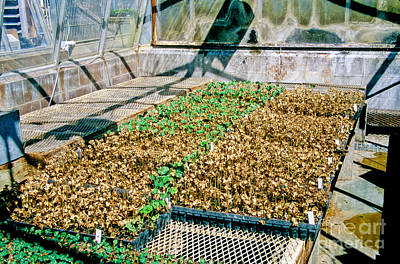 Uc Davis Photograph - Transgenic Cotton Plants by Inga Spence