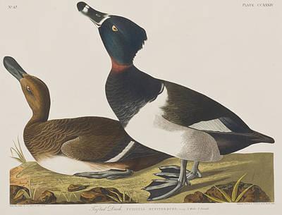 Border Drawing - Tufted Duck by John James Audubon