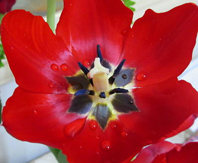 Tulips Photograph - Tulip by Cesar Vieira