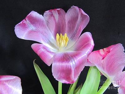 Tulip Farm Print by Joyce Woodhouse