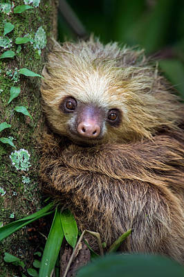 Two-toed Sloth Choloepus Didactylus Print by Panoramic Images