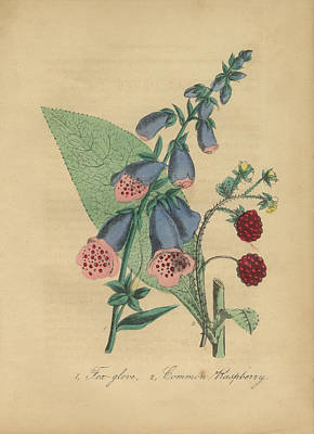 Victorian Botanical Illustration Of Foxglove And Common Raspberry Print by Peacock Graphics