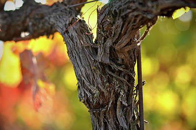 Grapes Photograph - Vine by Brandon Bourdages