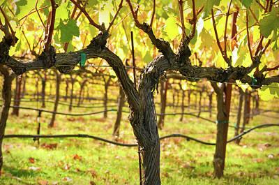 Vineyard Print by Brandon Bourdages