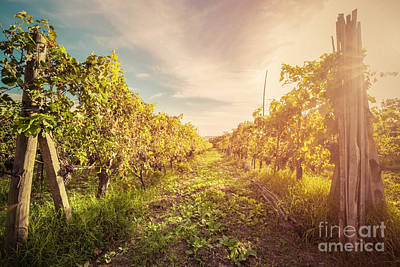 Wine Photograph - Vineyard In Tuscany, Italy by Michal Bednarek