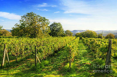 Ripe Photograph - Vineyard In Tuscany, Ripe Grapes by Michal Bednarek
