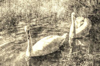 Vintage Swans Print by David Pyatt