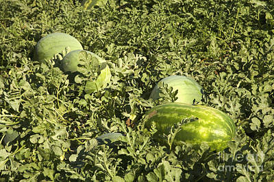 Watermelon Photograph - Watermelons In A Field by Inga Spence