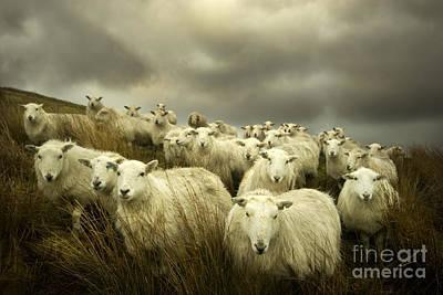 Sheep Photograph - Welsh Lamb by Angel  Tarantella