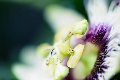 Passiflora Photograph - Where Are You by Sharon Mau