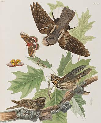 Moth Drawing - Whip Poor Will by John James Audubon