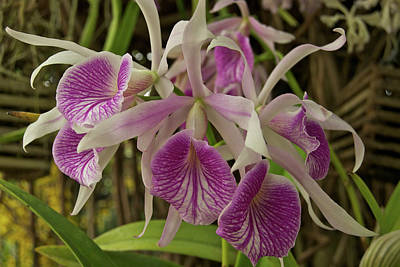 White And Purple Orchids Print by Michael Peychich