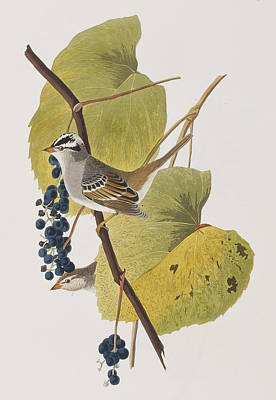 Sparrow Painting - White-crowned Sparrow by John James Audubon
