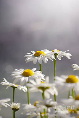 Sprout Photograph - White Daisies by Carlos Caetano