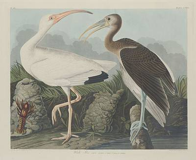 Egret Drawing - White Ibis by John James Audubon