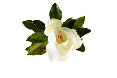 White Magnolia Flower And Leaves Isolated On White  Print by Michael Ledray