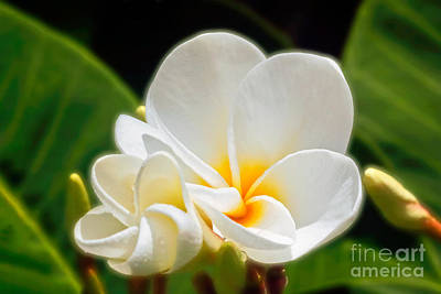 Obtusa Photograph - White Plumeria by Frank Wicker