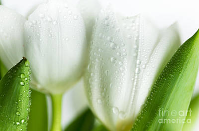 White Tulips Print by Nailia Schwarz
