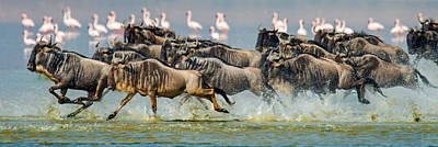 Flock Of Bird Photograph - Wildebeests Connochaetes Taurinus by Panoramic Images