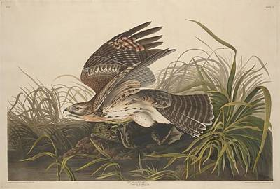 Hawk Drawing - Winter Hawk by John James Audubon