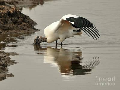 Stork Photograph - Wood Stork Winging It by Al Powell Photography USA