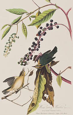 Berry Drawing - Worm Eating Warbler  by John James Audubon