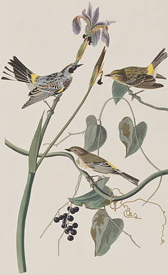 Berry Drawing - Yellow Crown Warbler by John James Audubon