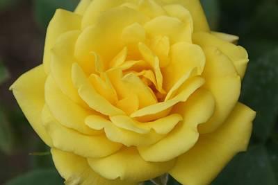 Yellow Rose Original by Geralyn Palmer