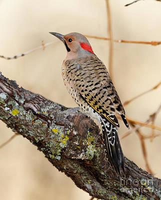 Woodpecker Digital Art - Yellow-shafted Northern Flicker by Betty LaRue