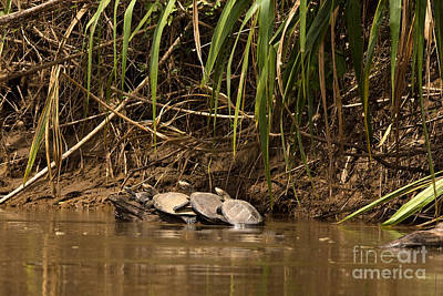 River Turtle Photograph - Yellow-spotted River Turtle P. Unifilis by Gerard Lacz