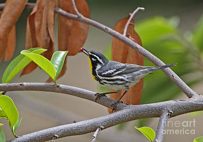 Yellow-throated Warbler Print by Neil Bowman/FLPA