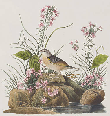 Sparrow Painting - Yellow-winged Sparrow by John James Audubon