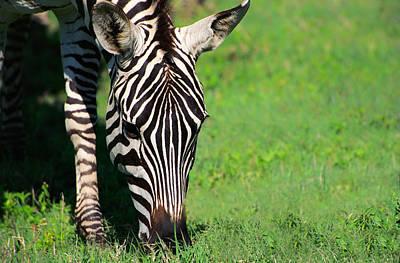 Zebra Photograph - Zebra by Sebastian Musial