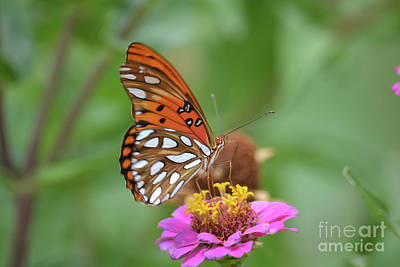 Gulf Fritillary Butterfly  Print by Ruth Housley