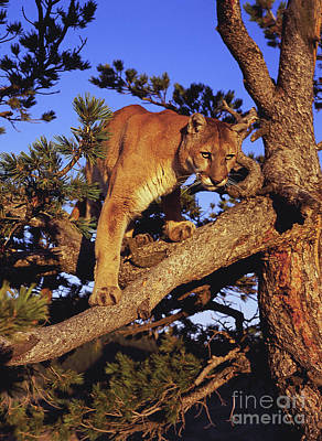 Mountain Lion Print by Dennis Hammer