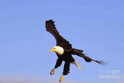 Bald Eagle Print by John Hyde - Printscapes