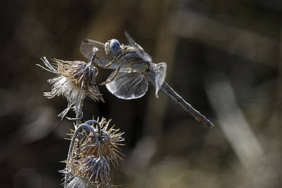Dragonfly Photograph - Untitled by Antonio Grambone