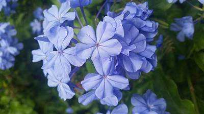 Flower Photograph - Plumbago by Christina Taylor
