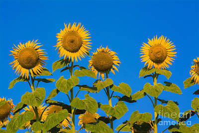 Sunflower Photograph - Field Of Sunflowers by Bernard Jaubert