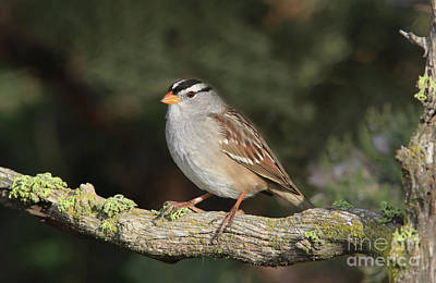 Photograph - White-crowned Sparrow by Gary Wing