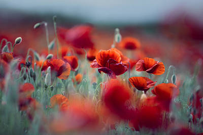 Colored Background Photograph - Summer Poppy Meadow by Nailia Schwarz