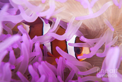 Clarks Anemonefish Photograph - A Clarks Anemonefish Snuggles Amongst by Ethan Daniels