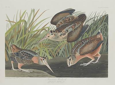 Woodcock Drawing - American Woodcock by John James Audubon