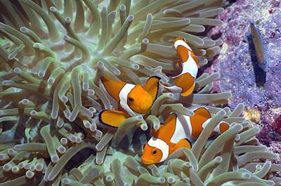 Clown Anemonefish Photograph - Anemonefish In Anemone by Georgette Douwma
