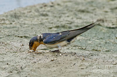 Barn Swallow Print by Anthony Mercieca