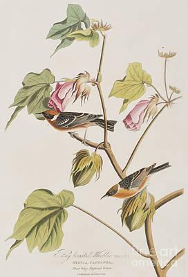 Bay Breasted Warbler Print by John James Audubon