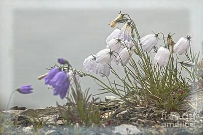 Photograph - Bellflower by Heiko Koehrer-Wagner
