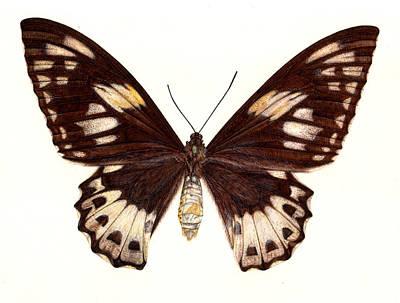 Natural Art Drawing - Birdwing Butterfly by Rachel Pedder-Smith
