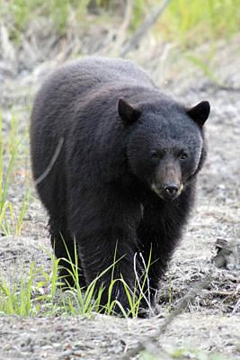 Black Bear At One Mile Lake Pemberton Print by Pierre Leclerc Photography